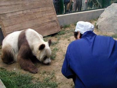 brown white panda China rare 4 - Цицзай ― редкая коричневая панда