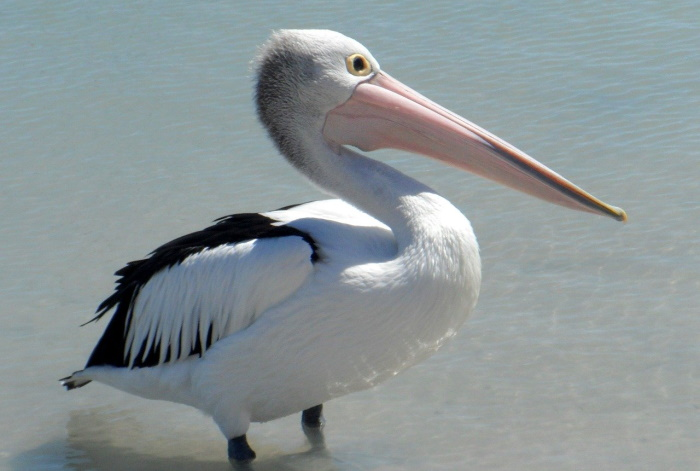 В китайском зоопарке пеликану распечатали клюв на 3D-принтере