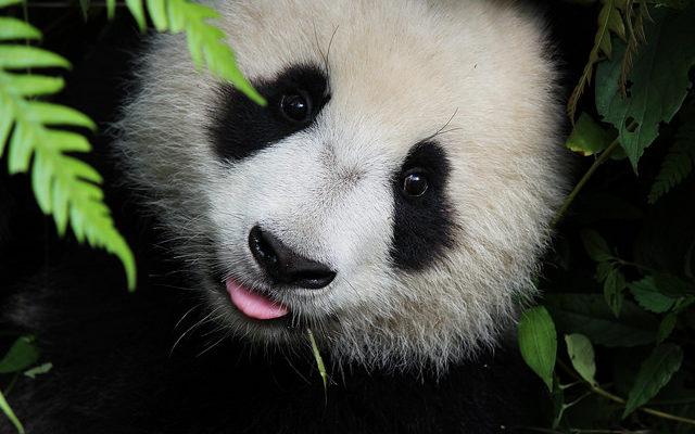 Старейший в мире самец панды отметил 30-летие