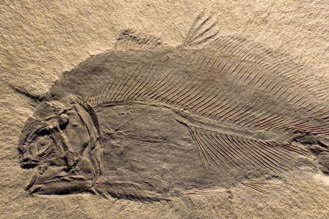 Останки одного из видов кистепёрой рыбы. Фото: James St. John/flickr.com/CC BY 2.0