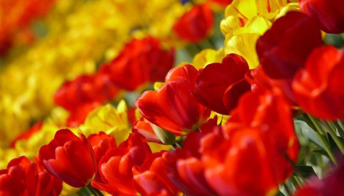 Запрет на поставки цветочных культур из Нидерландов: мнения экспертов и простых покупателей