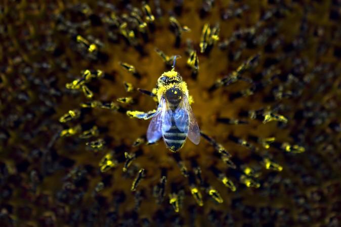 Пчёлы-убийцы распространяются по Америке
