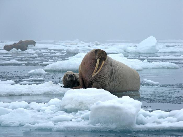 Моржи вышли на берег Аляски в результате глобального потепления