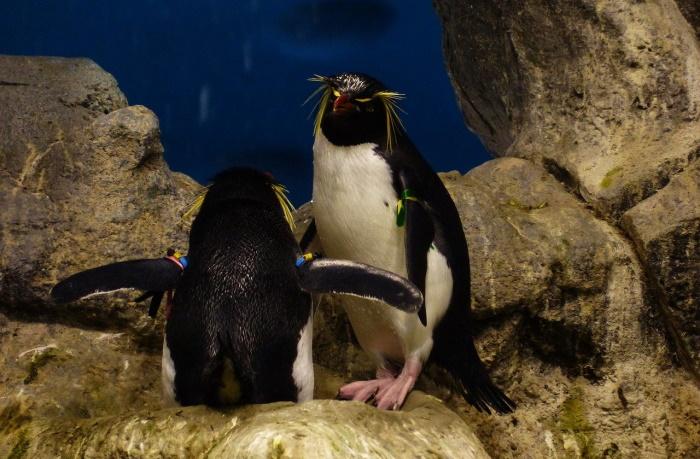 Моногамные пингвины большую часть времени живут раздельно