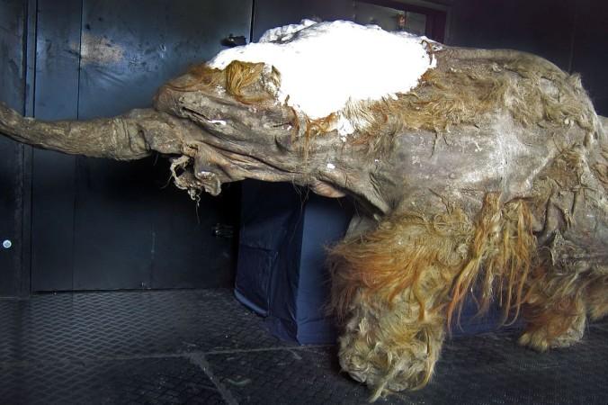 Мамонтёнок Юка. Фото: Cyclonaut/wikipedia.org/CC BY-SA 4.0