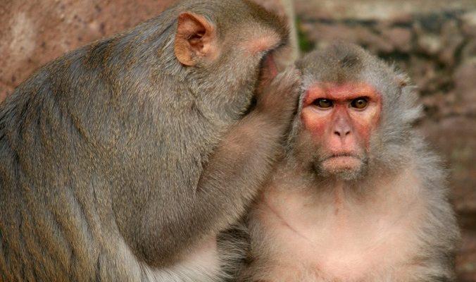 Пиршество для обезьян устроили у развалин древнего кхмерского храма «Панг Сам Йот»