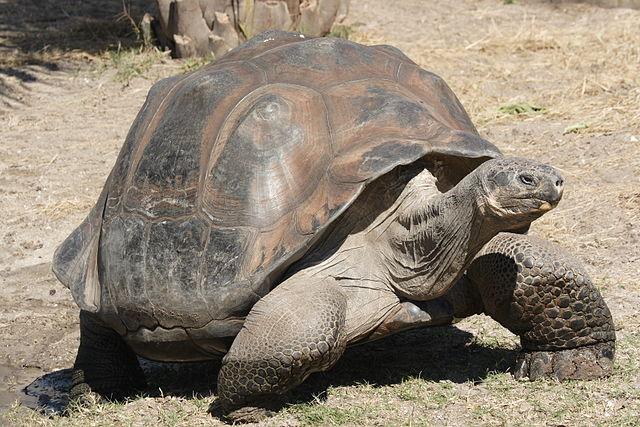 Слоновая черепаха. Фото: BetacommandBot/wikipedia.org/CC BY-SA 3.0