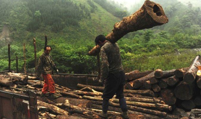 Вырубка лесов угрожает среде обитания панд