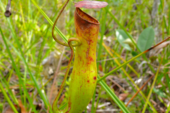 Растения, дождь, Непентес, Nepenthes gracilis, ловушка