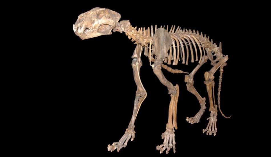 Скелет евразийского пещерного льва. Фото: Tommy Via Wikipedia/ CC BY 2.0)