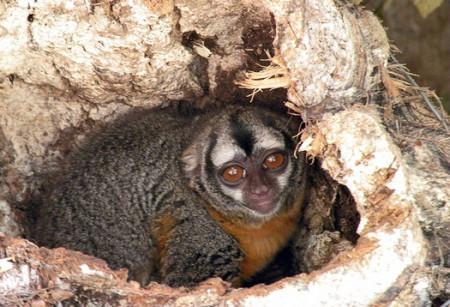 Совиная обезьяна. Фото: M. Corley/Owl Monkey Project