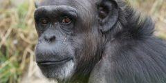 Учёные: Вряд ли обезьяне удастся стать человеком
