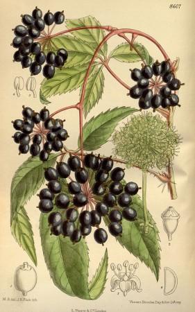 Иллюстрация элеутерококка из ботанического журнала Кертиса (1915). Фото: Public Domain