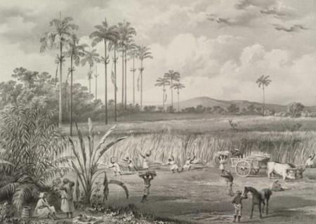Жатва сахарного тростника на острове Тринидад, 1836, литография. Фото: Public domain