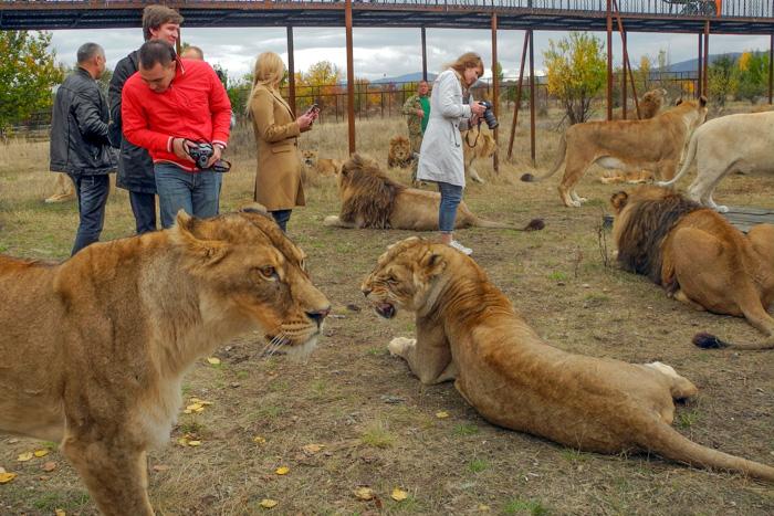 Журналистов в Крыму окружили львы. Фото: Алла Лавриненко/Великая Эпоха