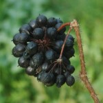 Элеутерококк колючий (Eleutherococcus senticosus) или сибирский женьшень легко узнать по гроздьям тёмных ягод. Фото: Stanislav Doronenko/Wikimedia Commons