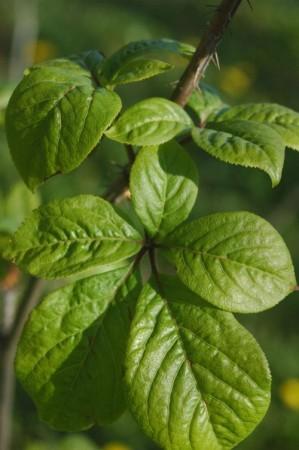 Элеутерококк колючий, листья. Фото: Stanislav Doronenko/Wikimedia Commons