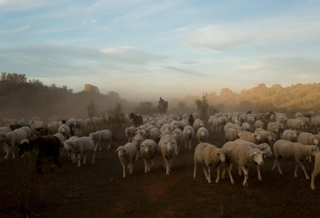 погон скота, животноводство, фото дня