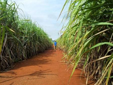 Плантация сахарного тростника в Юго-Восточной Азии. Фото: Public domain