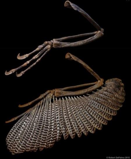 Наличие маховых бугорков является доказательством того, что у этого хищника на передних конечностях были перья. Фото: Robert DePalma