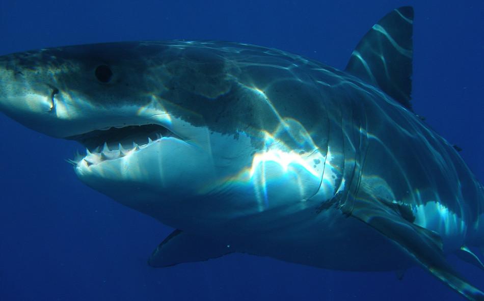 Эта гигантская белая акула меньше, чем её древняя родственница, останки которой найдены в Техасе. Фото: Pixabay/CC0 Public Domain