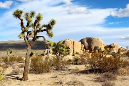 Дерево джошуа в пустыне Мохаве. Фото: pixabay.com/CC0 Public Domain