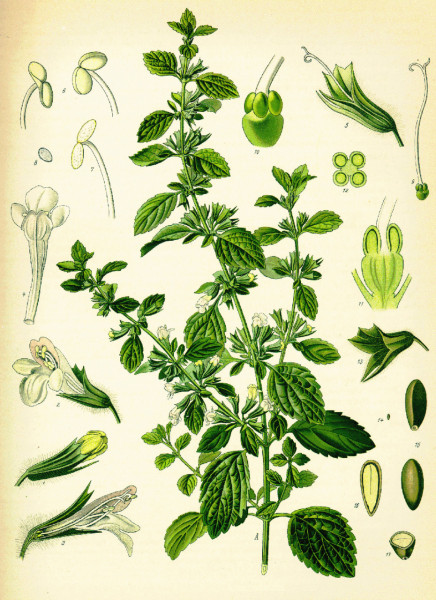 Иллюстрация мелиссы лекарственной из книги Кёлера «Лекарственные растения», 1887 год. Фото: Public domain