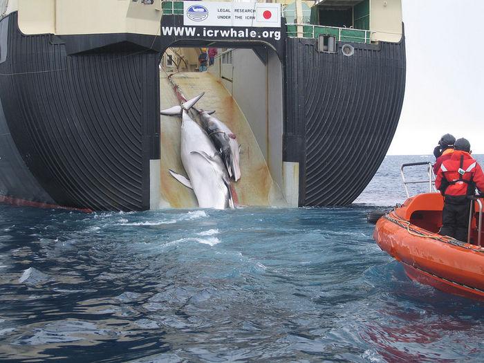 Активисты Гринпис протестуют против погрузки убитого кита на судно «Ниссин Мару». Фото: Grolltech/wikipedia.org/CC BY 3.0