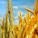 цельное зерно, цельнозерновой, бурый рис, витамины, минералы, холестерин, похудение, пшеница. поле, рожь