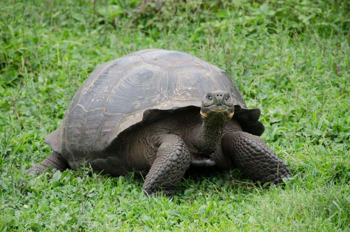Учёные намерены возродить два вида галапагосских черепах