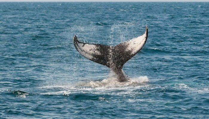 Японские китобои вновь вышли на охоту