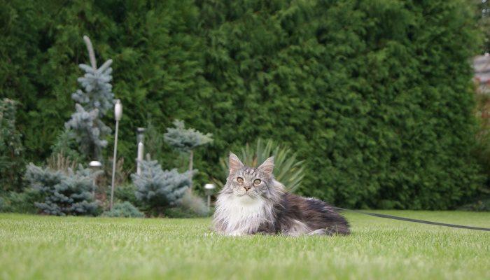 Мейн Кун — добрая и терпеливая кошка-гигант
