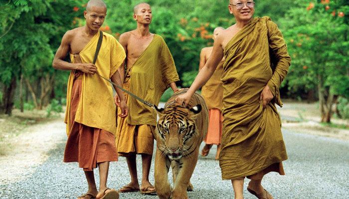 Буддийские монахи занимаются контрабандой тигров (видео)