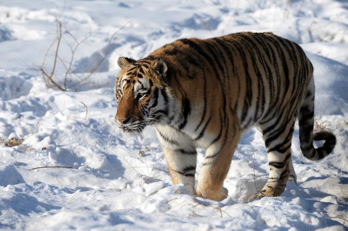 Амурский тигр. Фото: GOH CHAI HIN/AFP/Getty Images