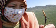 В знаменитом китайском кордицепсе обнаружен мышьяк