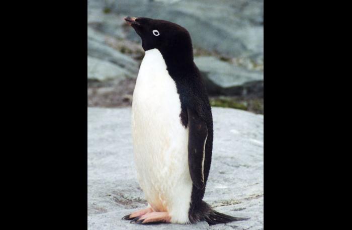 150 000 пингвинов Адели погибли в Антарктиде