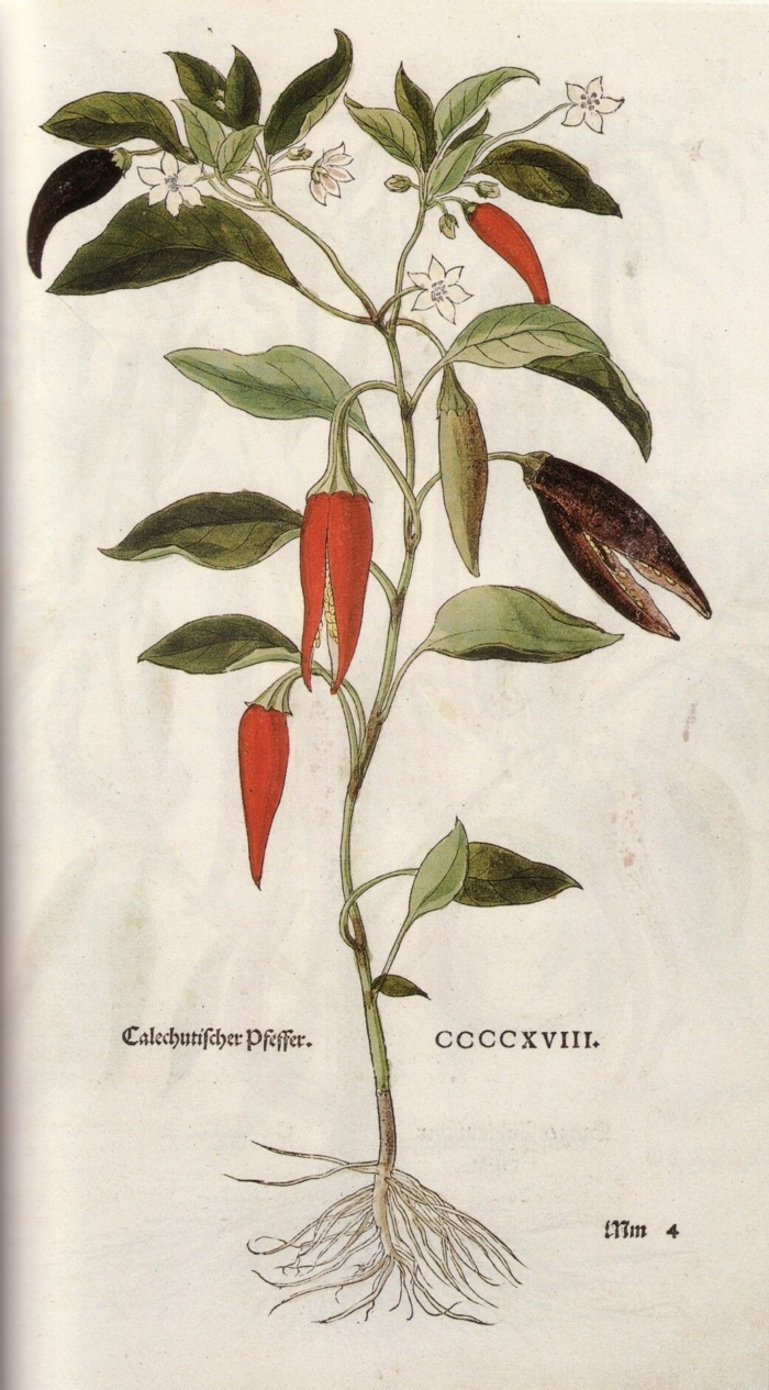Кайенский перец, иллюстрация Леонхарта Фукса. Фото: Public Domain