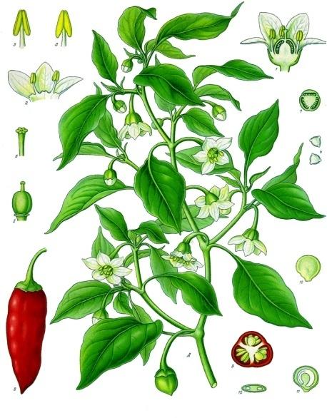 Ботаническая иллюстрация кайенского перца Франка Ойгена Колера. Фото: Public Domain