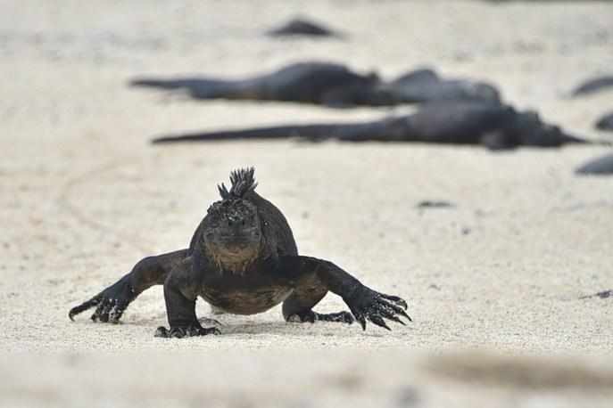 Морская игуана - эндемик Галапагосских островов. Фото: RODRIGO BUENDIA/AFP/Getty Images