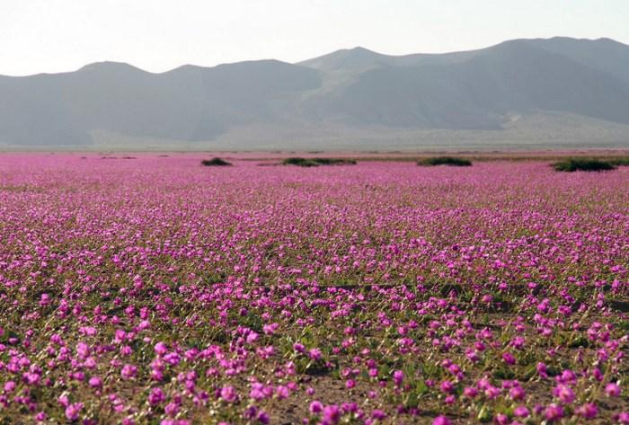 Цветущая пустыня Атакама. Фото: CARLOS AGUILAR/AFP/Getty Images