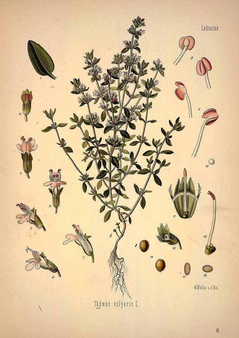 Иллюстрация тимьяна, Ф. Кёлер. Фото: Public Domain