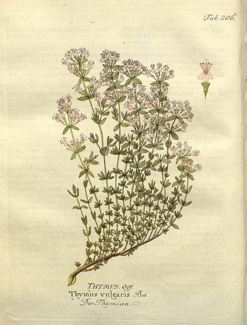 Иллюстрация тимьяна, Ф. Б. Витц, 1804 г. Фото: Public Domain