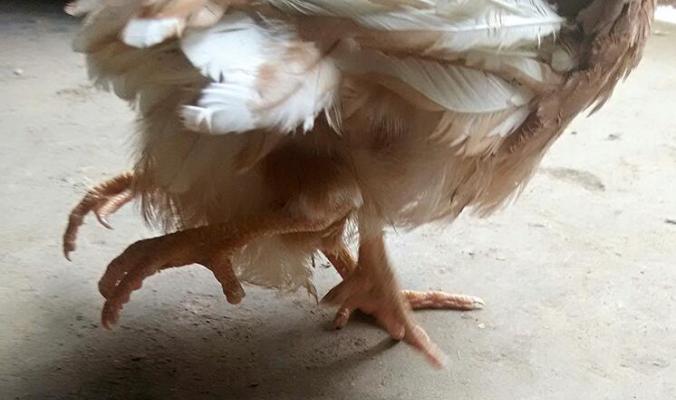 Вы бы стали есть курицу с четырьмя ногами?
