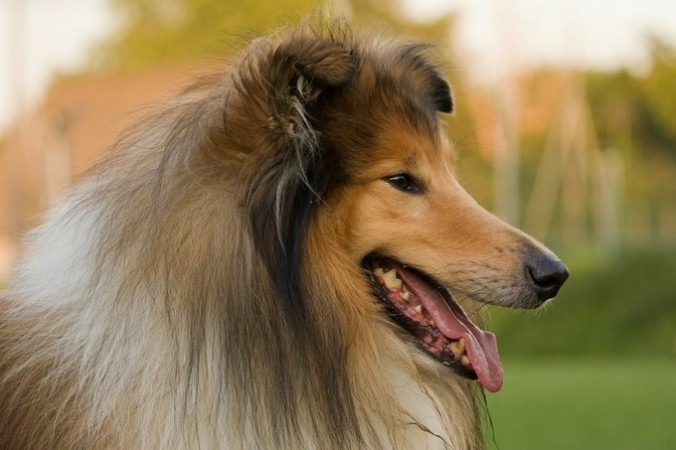Собака породы Колли. Фото: pixabay.com/CC0 Public Domain
