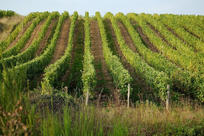 vineyards-702985_1280