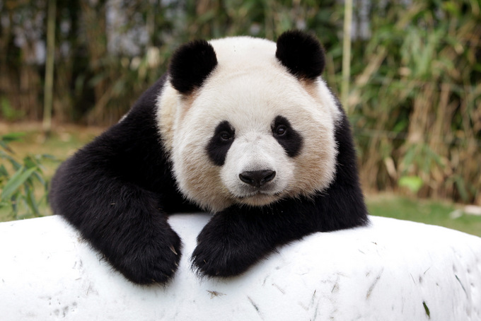 В японском зоопарке панда принесла потомство