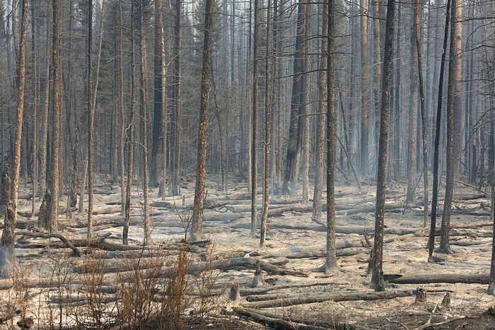Лес после пожара. Фото: COLE BURSTON//AFP/Getty Images)