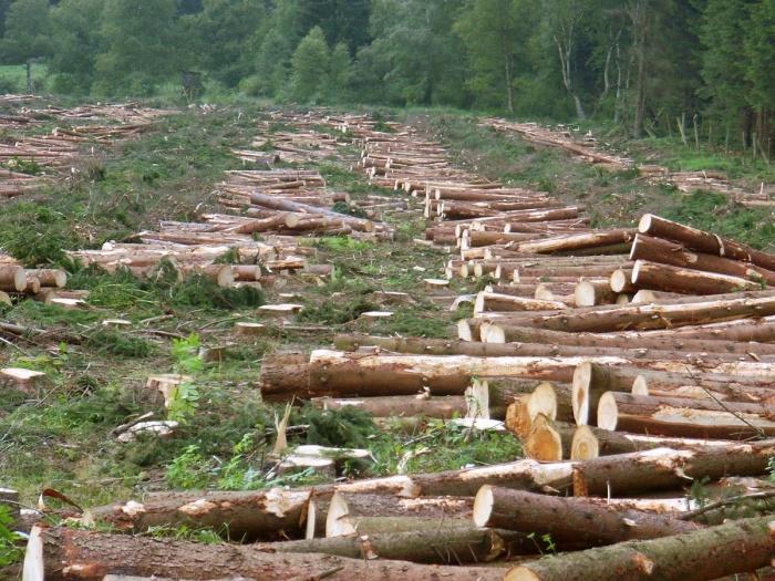 Вырубая лес, мы должны заботить о том, в каком состоянии мы оставляем лесные территории. Фото: User:H.-J. Sydow/en.wikipedia.org/CC BY-SA 3.0