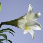 Белая лилия ― древний символ. Фото: Gord Horne/iStock