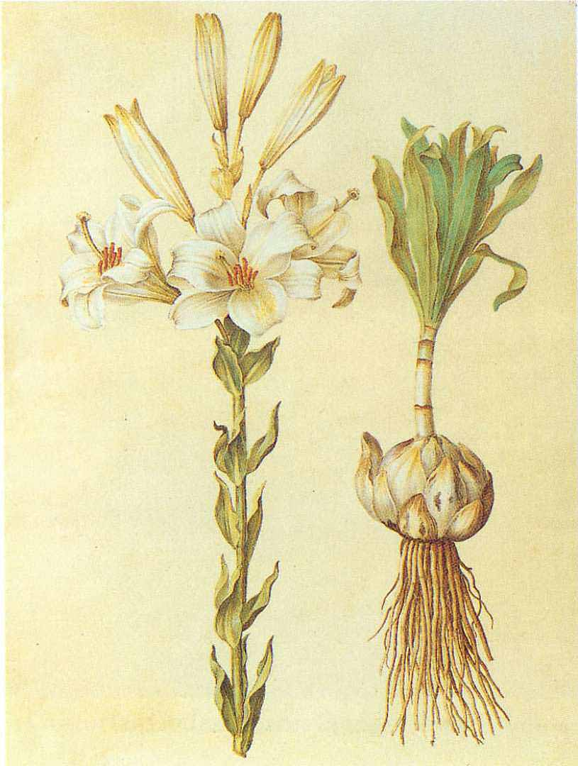 Лилия белоснежная, Gottorfer Codex, 1649–1659. Фото: Public domain
